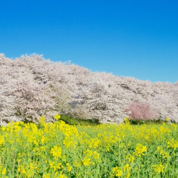 権現堂公園の桜堤