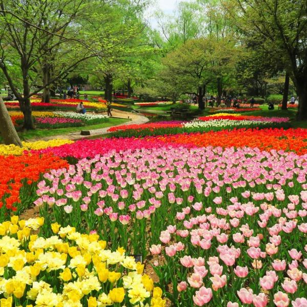 立川チューリップ庭園